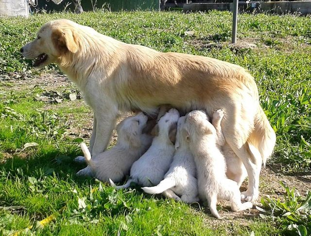 Mom with 8 puppies